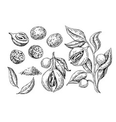 Nutmeg spice drawing ground seasoning nut vector