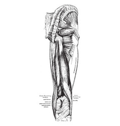 Muscles of the hip and thigh vintage vector