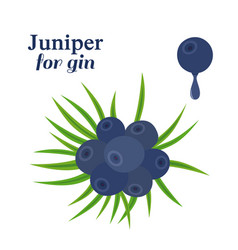 juniper berries fresh herb for alcohol dry gin vector image