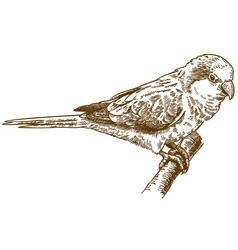 Engraving drawing of african monk parakeet vector