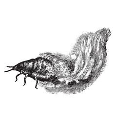Woolly aphid larva vintage vector