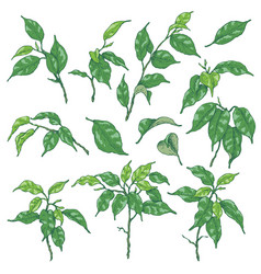 green ficus branches sketch vector image vector image