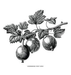 Gooseberries fruit plant botanical vintage vector