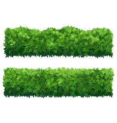 Green fence from boxwood shrubs ornamental plant vector