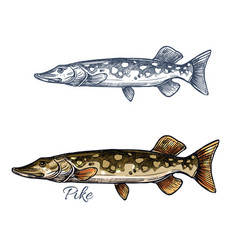 pike fish sketch with pickerel for fishing design vector image