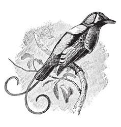 Wilson bird of paradise vintage vector