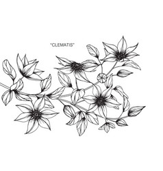 Clematis flower drawing vector