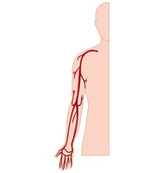 Blood vessel in human hand vector