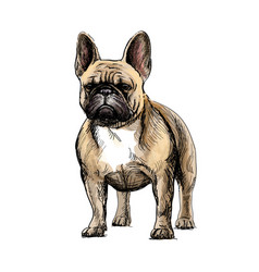 beautiful french bulldog vector image