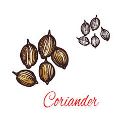 Coriander seed sketch of cilantro spice design vector
