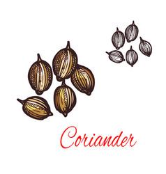 coriander seed sketch of cilantro spice design vector image