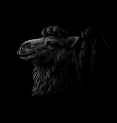 portrait a camel head on a black background vector image
