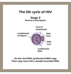 The life cycle of hiv stage 2 -the viral rna vector