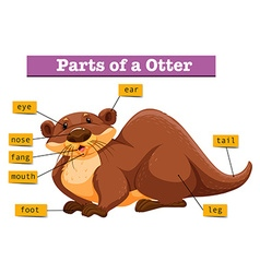 Anatomy of cute otter vector