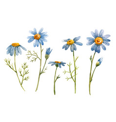 blue chamomile daisy flower vector image