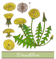 hand drawn colored dandelion vector image