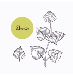 Hand drawn perilla herb branch with leaves vector image