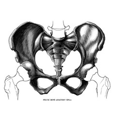 pelvic bone anatomy vintage engraving isolated on vector image