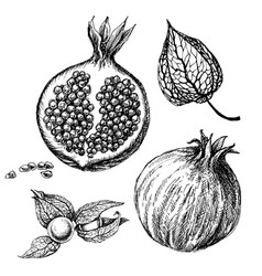pomegranate set hand drawings isolated autumn vector image