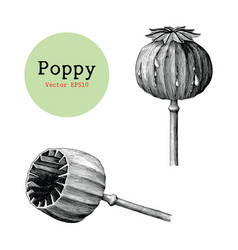 poppy hand drawing vintage clip art isolated vector image