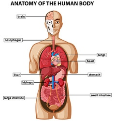 Diagram showing anatomy of human body with names vector image