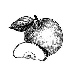 Ink sketch apple vector