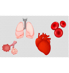 human organs isolated transparent background vector image