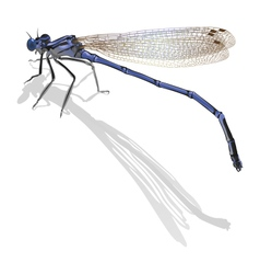 Blue dragonfly with folded wings isolated on white vector image