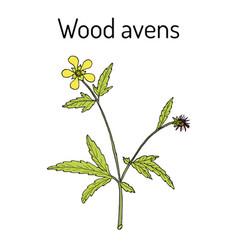 Wood avens geum urbanum medicinal plant vector