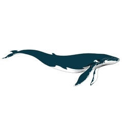 Realistic big blue whale on a white background vector image vector image