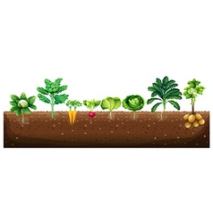 Vegetables growing from underground vector image