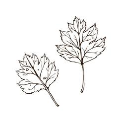 hawthorn leaves vintage engraved vector image