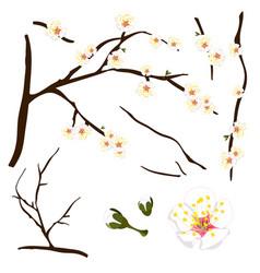 prunus mume - white chinese plum japanese apricot vector image vector image