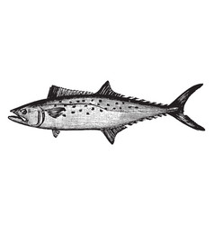 Atlantic spanish mackerel vintage vector