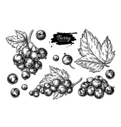 Black currant drawing isolated berry vector