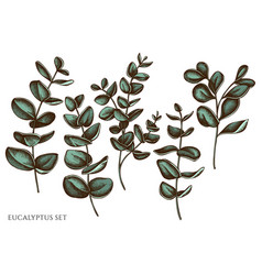 set hand drawn colored eucalyptus vector image