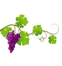 red grape vine vector image vector image