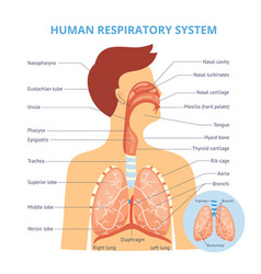 Medical infographics human respiratory vector