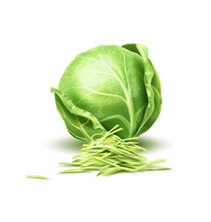 Realistic cabbage vegetable vector