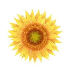 Sunflower flowers isolated white background vector