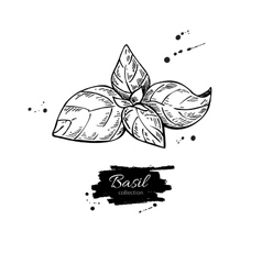 Basil drawing Isolated Basil plant with vector