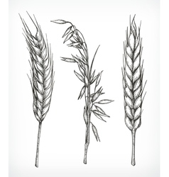 Crops wheat and oat sketches vector image vector image