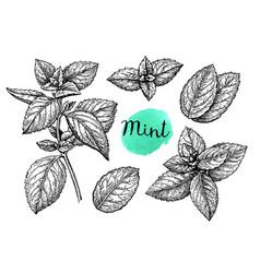 Mint sketch set vector