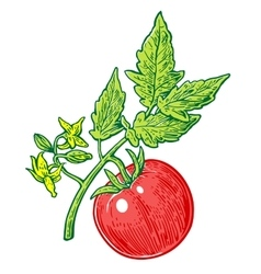 Tomato bunch with leaf engraved vector
