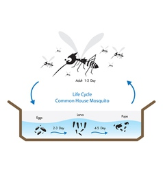Life Cycle Mosquito vector image