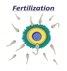 a female egg fertilization sperm vector image