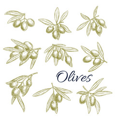 Sketch icons of fresh green olives branches vector