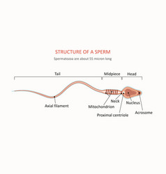 Human sperm cell anatomy vector
