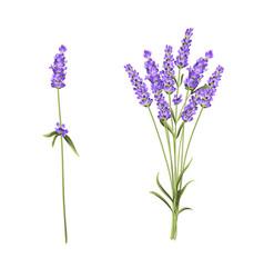Lavender flowers in closeup vector