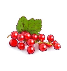 Redcurrant vector image